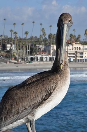 water fowl: Pelican in Oceanside, California