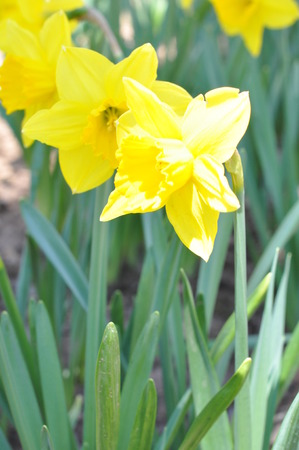 Daffodils at Hubbard Park in Meriden Connecticut