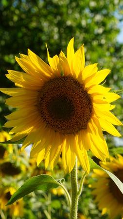 textured wall: Sunflowers