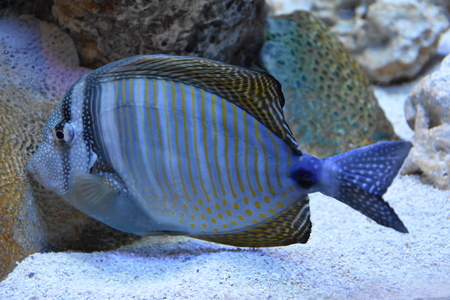 triggerfish: Blue Fish
