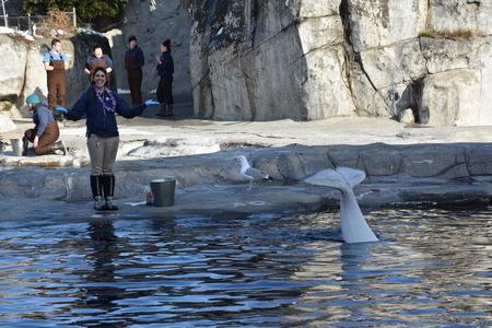 fish tank: Beluga whale feeding at Mystic Aquarium in Connecticut