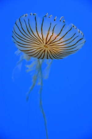 Japanese Sea Nettle Jellyfish Stock Photo