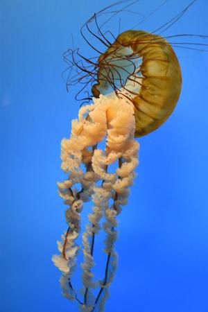 Pacific Sea Nettle Jellyfish
