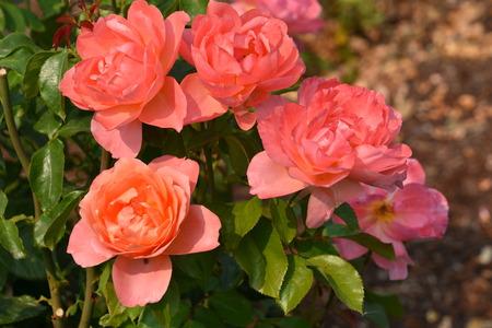 Roses Imagens - 115700908