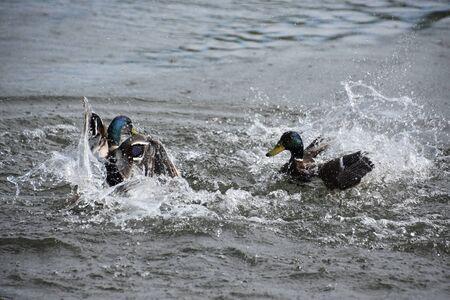 Duck in a Pond 版權商用圖片