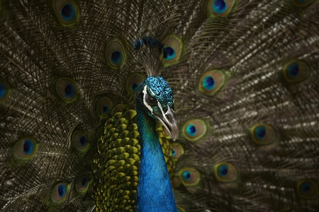A Peacock in khao kheaw open zoo thailand   photo