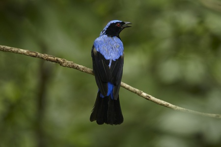 A blue bird in in khao kheaw open zoo thailand  photo