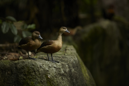 A ducks in in khao kheaw open zoo thailand  photo