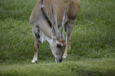 he goat: Chamois in khao kheaw open zoo thailand