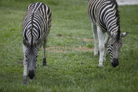 Zebra in khao kheaw open zoo thailand  photo