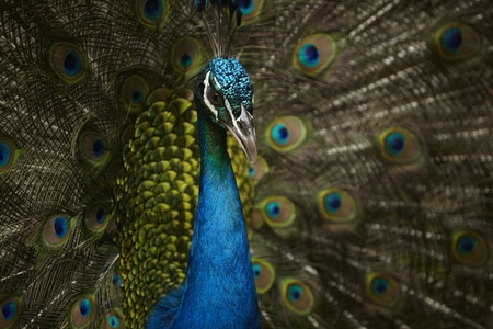 Peacock in khao kheaw open zoo thailand  photo