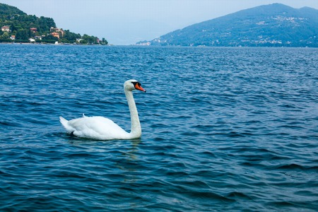 Swan floating on the water on the lake Stock Photo