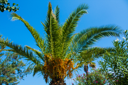 ble: Palm tree on ble sky background. Summer sunny day Stock Photo