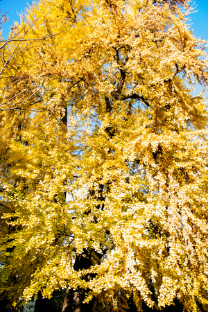 Autumn Nature View, Tree with Yelow Gold Leaves in a park on a sunny day. Stock Photo