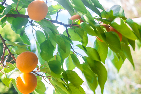 Apricot fruit on a tree branch in a garden, nature background.