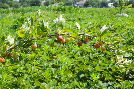 Gooseberry on a branch in a garden, nature background.