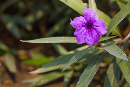 a species of flowering plant in the Acanthaceae family. Its native range is in Central America but presently it has become naturalized in many countries of tropical South and Southeast Asia. Stock Photo