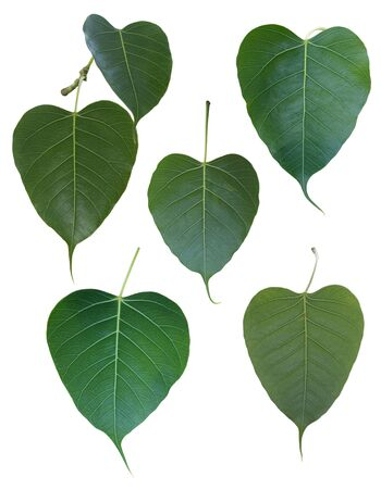 pipal: Ficus religiosa leaf Isolated on white background. Stock Photo