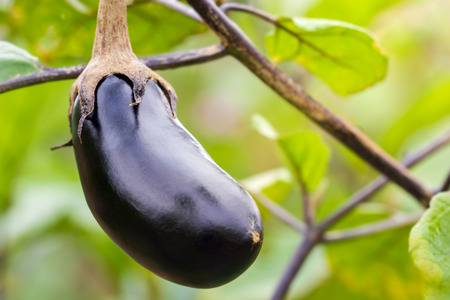 Eggplant is on the tree and has a leaf in the background. Concept of agriculture or organic farms. Zdjęcie Seryjne