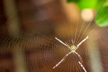 Saint andrews cross spider on spider web and morning sunlight. Banque d'images