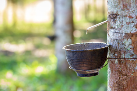 The latex of rubber flows down from the tree into the bowl and morning sunlight.