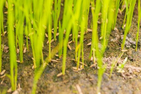 Baby rice tree at organic farm in daylight. Concept of agriculture and farmer.