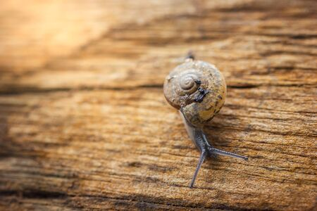 Snail waking on dry wood in rainy season and morning sunlight. Closeup and copy space for text. Imagens
