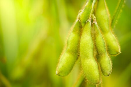 Soybeans pods on the tree and green nature background. Closeup and copy space.