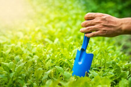 Gardener hand holding garden trowel on organic vegetable and morning sunlight. Concept of agriculture. Closeup and copy space for text. Imagens