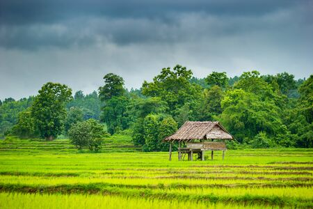 Cottage in the rice fields. Grey overcast sky in the rainy season. Copy space for text. Concept of agriculture.