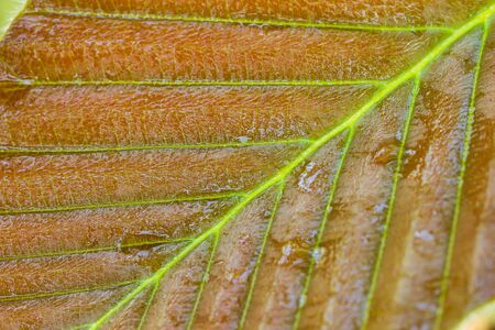 Wet leaf in tropical forest. Closeup and copy space. Concept of rainy season. Stock Photo