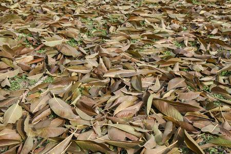 dry leaves: dry leaves