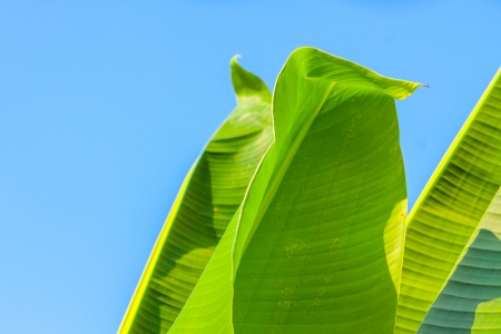 big banana leaf against blue sky photo