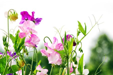 sweet peas flowers Standard-Bild