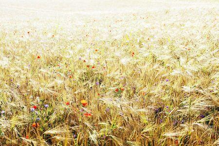 Wheat field with poppy flowers photo