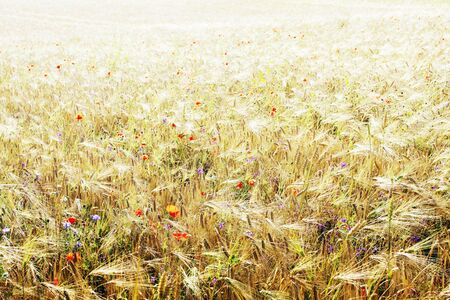 Wheat field with poppy flowers photo