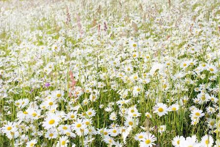 Field of daisies Stock Photo - 9195884