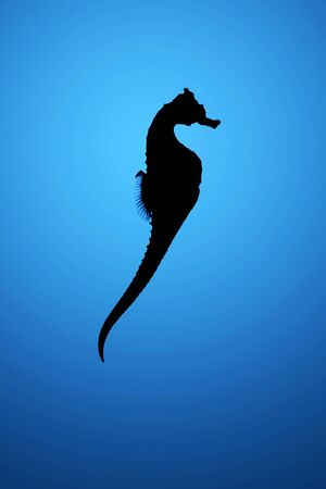 Silhouette of seahorse