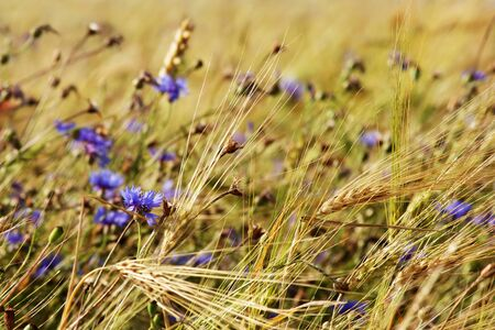Wheat field with cornflowers photo