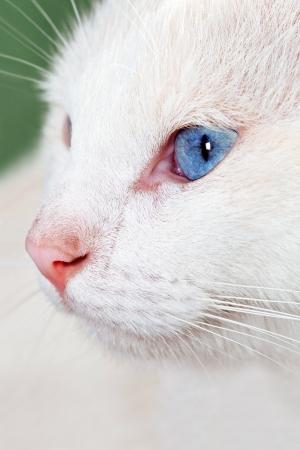 White cat  Stock Photo - 17471608