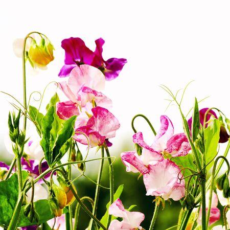 sweet pea flower: Sweet peas flowers Stock Photo