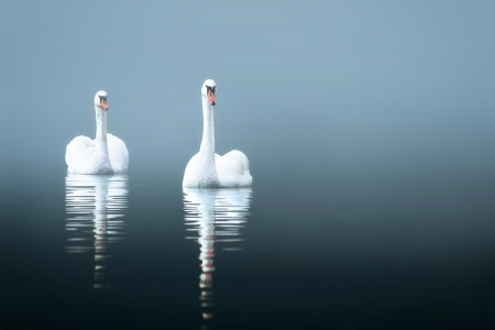 Swans in the misty lake