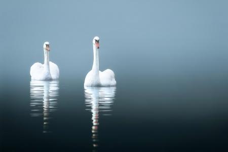 black swan: Swans in the misty lake