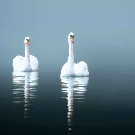 swimming swan: Swans in the misty lake