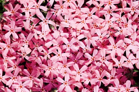 Small, pink flowers, Phlox Subulata  Stock Photo