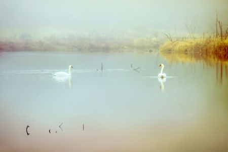 swimming swan: Couple of swans in a misty lake