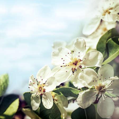 Apple blossoms against blue sky background