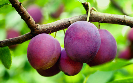 Ripe plums on the tree  photo