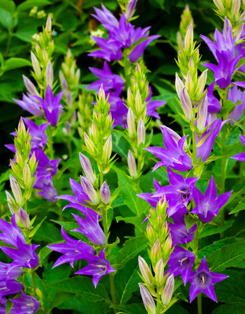 Purple bell flowers stock photo picture and royalty free image purple bell flowers stock photo 29591135 mightylinksfo