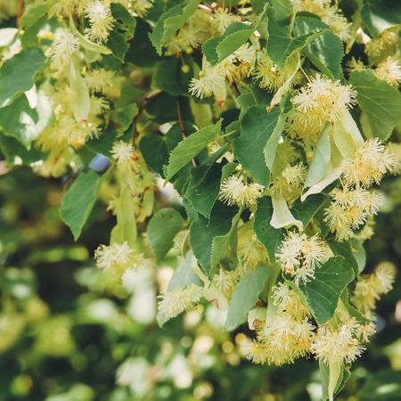 fiori di tiglio albero